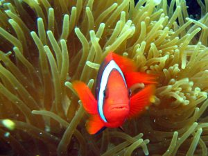 Clown-fish at Moalboal's House reef