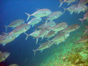 Jackfish at Pescador Island Moalboal