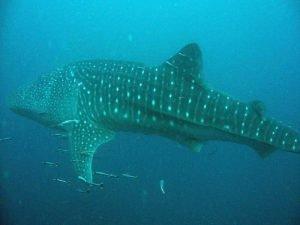 Whale shark in Cebu Philippines